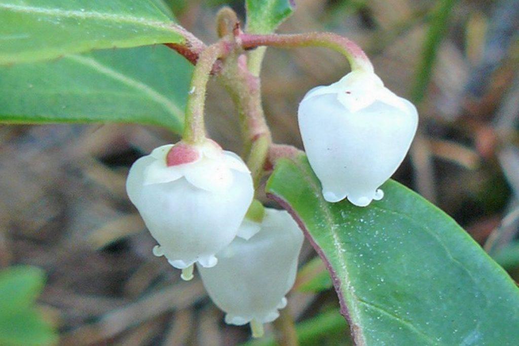 Gaultheria bloeiwijze