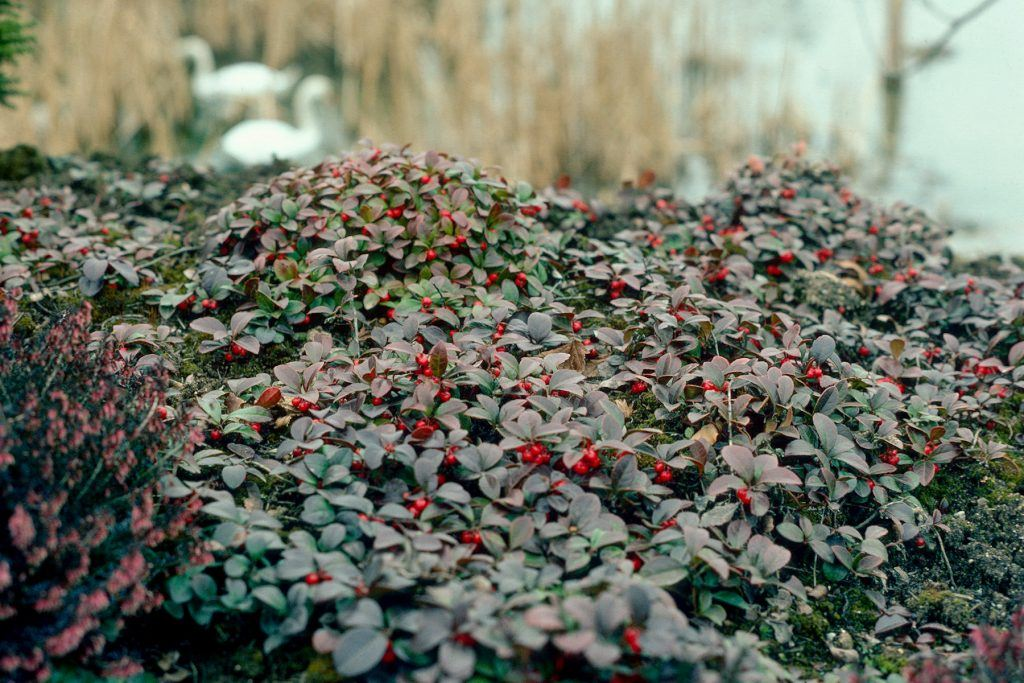 Gaultheria in border